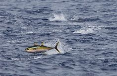 A yellow fin tuna jumps from the water