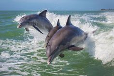 Researchers have long studied the clicks, chirps and other calls that dolphins make in an effort to understand how these intelligent mammals communicate with one another.