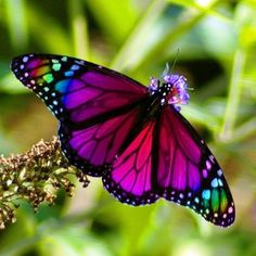 Fuschia butterfly detail photography