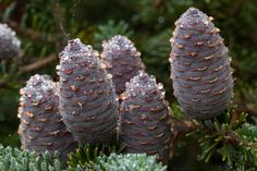 Abies x arnoldiana 'Poulsen' cones in early summer