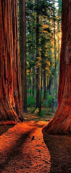 Sequoia Road ~ Grant Grove of giant sequoias in Kings Canyon National Park, California- I want to go to there American National Parks, National Parks Usa, California National Parks, Parc National, Parcs, Oh The Places You'll Go, Best Places To Travel, Belle Photo, Wonders Of The World