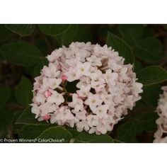 Lil ditty viburnum an exceptional new dwarf viburnum that is a lil ditty viburnum an exceptional new dwarf viburnum that is a puffball of creamy white fragrant flowers in late sprin trees shrubs and climbers mightylinksfo