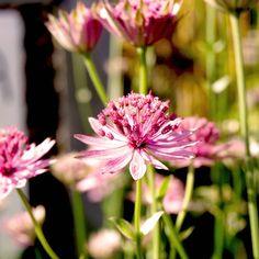Grosse Sterndolde Astrantia major 'Claret' Diese wunderschöne elegante Sterndolde sah ich im Sussex Prairie Garden. Die Staude wirkt wie eine Königin mit Krone. Sie blüht dunkelrot von Juni bis September. Sie bleibt mit 60 cm mittelhoch. Die Bienen mögen die Staude leiden. Sie mag absonnige bis halbschattige Standorte, im Sussex Prairie Garden gedeiht unsere Königin auch in der Sonne wunderbar. Ein wunderschöner Favorit! @irislandschaften