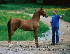 Hackney Horse breed is uncommon worldwide, with a global population of perhaps 3,000. The majority of the horses are found in Britain, with fewer than 200 Hackney horses in North America and about 300 in Argentina. Relatively few strains retain the pure genetics of the historic Hackney breed, and these are a conservation priority.