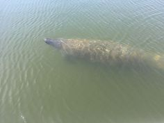 Ken Banks had never seen a manatee in person, but there was no mistaking what appeared in front of him over the weekend.