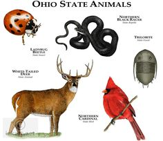 Ohio State Animals Fine Art Print