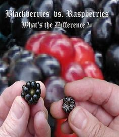 Blackberry Vs Raspberry What S The Difference Luv2garden Com Blackberry Raspberry Companion Gardening