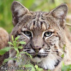 Moses Bobcat