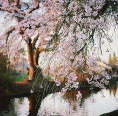 Portland blossom ♥