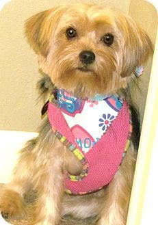 House Springs, MO - Yorkie, Yorkshire Terrier. Meet Tatiana, a dog for adoption. http://www.adoptapet.com/pet/16255580-house-springs-missouri-yorkie-yorkshire-terrier