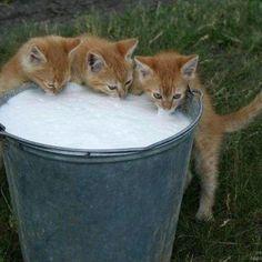 Fresh milk for the farm kittens
