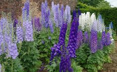How to Grow and Care for Delphinium Plants: Grow Delphiniums in a sunny area with soil that is consistently moist. Delphinium Plant, Delphiniums, Blue Flowers Images, Flower Images, Vintage Flowers, Flower Garden Plans, Flower Landscape, Garden Care, Perennials