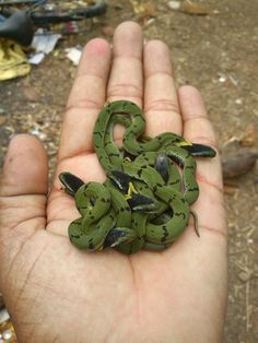 A handful of juvenile Green Keelbacks (Macropisthodon plumbicolor), a mildly venomous rear fanged snake, from forests of the Indian subcontinent, that feeds mainly on toads. Max. length of 55 cm. Bloody adorable.
