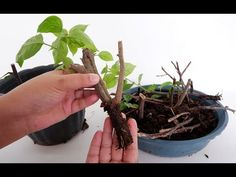 The bougainvillea propagation method featured in this video is through the use of stem cuttings. Although it takes time and using cow dung manure as the soil. Propagation, Cuttings, Bougainvillea Bonsai, Carnivorous Plants, Annual Plants, Container Flowers, Fruit Garden, Container Gardening, Vegetable Gardening