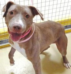 AMBER is an adoptable Pit Bull Terrier Dog in El Paso, TX. She may be an adult dog, but her eyes tell you that shes still has the innocence of a little puppy!  Amber is a girl who just likes to be aro...