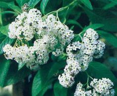 Vanilla scent. Heliotropium arborescense 'Iowa', Plants for Home & Garden   Since 1892.