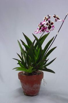 Orchid of the Whenever I Get Around to It Week is back today with Tolumnias! In my most recent post I bragged about one of my Tolumnia plants being in spike, so I thought now would be a good time t…