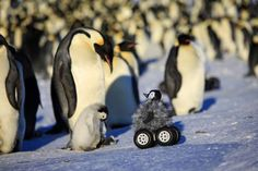 Sunday, November 2: Remote-Controlled Penguin - Frederique Olivier/Downer Productions/AP Photo