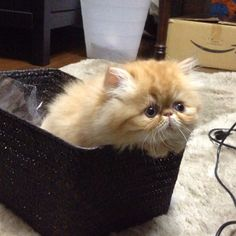 Such a cute persian kitten