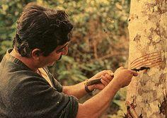 """""""No começo, pensei que estivesse lutando para salvar seringueiras. Depois, pensei que estava lutando para salvar a Floresta Amazônica. Agora, percebo que estou lutando pela humanidade."""" Chico Mendes"""