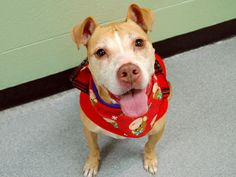 TO BE DESTROYED 1/15/14 Manhattan Center -P  My name is PIPER. My Animal ID # is A0988415. I am a spayed female tan and white pit bull mix. The shelter thinks I am about 10 YEARS old.