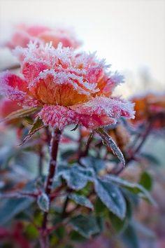 Rose on ice