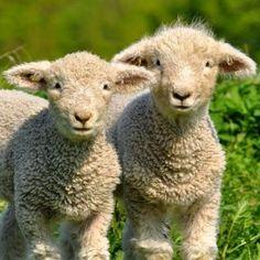 Baby Doll Sheep.