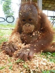 This isn't what it looks like… I can explain. I planned to have it cleaned up beeeeforrrrreee you got home…. Funny Wild Animals, Baby Wild Animals, Cute Baby Animals, Types Of Monkeys, Baby Orangutan, Ape Monkey, Pet Store, Animal Kingdom, Animals Beautiful