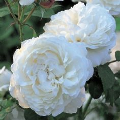 There is delicious Old Rose fragrance with hints of honey and almond blossom, which becomes much stronger in warmer weather.