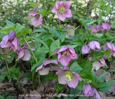 Lenten Roses - Mary Fromyer gave us some when she wanted to thin out her garden ten years ago. They're beautiful. We need more.