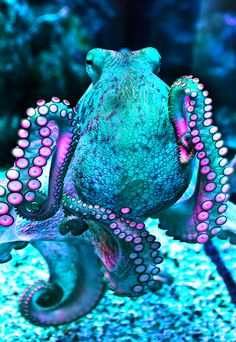 Insanely colored octopus! #COTM