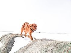Photo's of Bernese Mountain dogs, golden retrievers, moyen poodle, puppies in alberta Red Golden Retriever Puppy, Retriever Puppies, Moyen Poodle, Mountain Dogs, Dog Food Recipes, Pets, Gallery, Animals, Animais