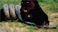 Great Python Vs Panther Real Fight | SK4News (Srok Khmer For News)
