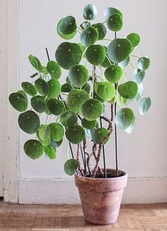 Pilea Peperomioides – Plante à monnaie chinoise – Chinese Money Plant Bonne luminosité, arroser régulièrement, ne laisser pas sécher le substrat, éviter le soleil direct en été. Sans doute, elle apportera une touche d'originalité dans votre intérieur.