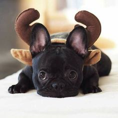 """I WAS a French Bulldog Puppy….I guess I'm now a Reindeer"". http://ift.tt/2c05C9S on Frenchie Friends Being Fuzzy via http://ift.tt"