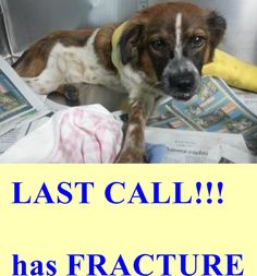 A1690252 needs help asap !!!! SUN Program Category D-2!!! Fracture!!!!! — Miami Dade County Animal Services. https://www.facebook.com/urgentdogsofmiami/photos/pb.191859757515102.-2207520000.1428526668./958880100813060/?type=3&theater
