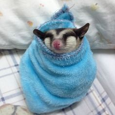 10+ Sugar Gliders That Are Just Too Sweet | funspics.com