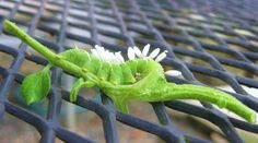 When NOT To Kill a Tomato Hornworm