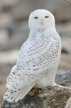 20 Temperate Deciduous Forest Animals to Know About Beautiful Owl, Animals Beautiful, Cute Animals, Wild Animals, Baby Animals, Owl Pictures, Owl Photos, Temperate Deciduous Forest Animals, Owl Bird
