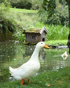 Duck in Brekkeparken, Skien, Norway - From THE ESSENCE OF THE GOOD LIFE™ - http://www.pinterest.com/LeneGede/