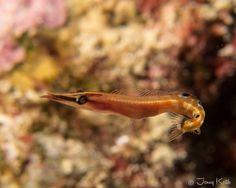 Arrow Blenny St. Croix, US Virgin Islands
