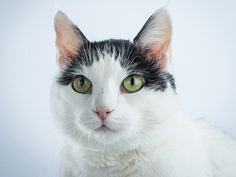 Hallie is a beautiful and easygoing feline who is looking for her forever home. Adopt her from @oregonhumane  and receive 30 days free pet insurance from Petplan!