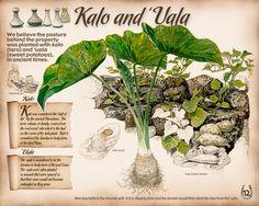 12-Kalo-and-'Uala | Karen Kaufman