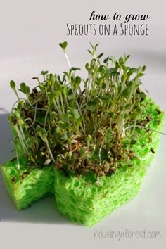 Shamrock Sprouts ~ how to grow Sprouts on a sponge.  Simple indoor garden