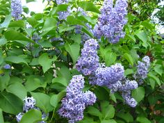 Old fashion Lilac, one of my favorites for early spring. Lilacs, Early Spring, Garden Ideas, Home And Garden, Decor Ideas, My Favorite Things, Flowers, Plants, Blue