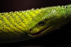"""via Daily Deviations on Deviant Art.  Suggester said; """"Powerful photo that takes you close enough to this venomous snake to look right into its eye.""""  Also suggested by tanikel Green Mamba by Mytrokos  Suggested by Samuel-Nordius Featured by Anoya(1000×662)"""