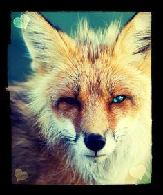 Pretty Fox!