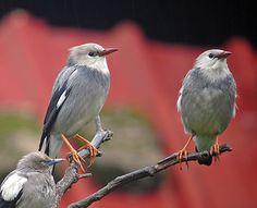 Birds Silkly Starling, Taiwan Birds In The Sky, Birds 2, Love Birds, Beautiful Birds, Wild Birds, Image Database, Bird Migration, Starling, Kids Writing