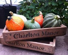 Beautiful squash in all shapes and sizes picked from the Kitchen Garden at Charlton Manor.