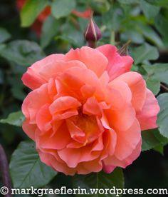 Mai, Wordpress, Roses, Flowers, Plants, Watering Plants, Rain Drops, Lawn And Garden, Pink